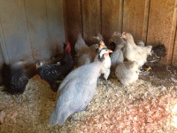 Guineas and chickens in the chicken coop.